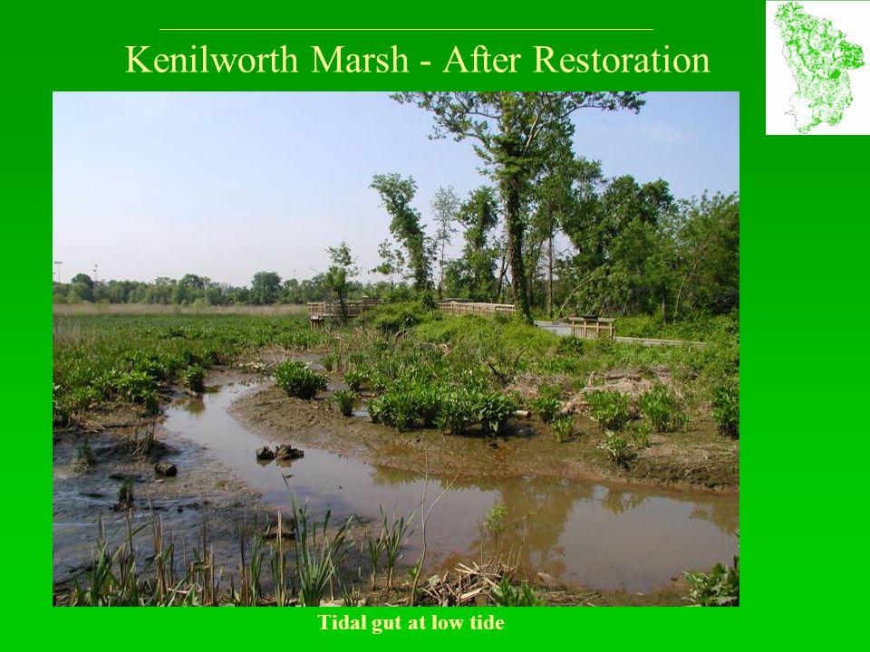Kenilworth Marsh - After Restoration Tidal gut at low tide