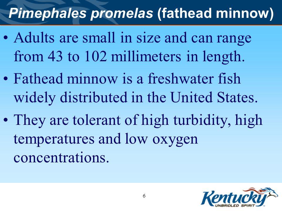 7 Pimephales promelas (fathead minnow) Larvae Adult