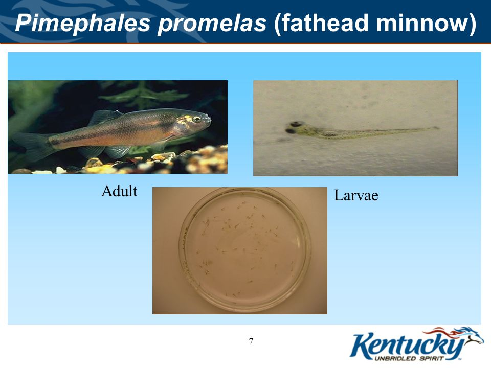 8 Ceriodaphnia dubia (water flea) Water flea occur in littoral area lakes, ponds and marshes throughout most of the world.