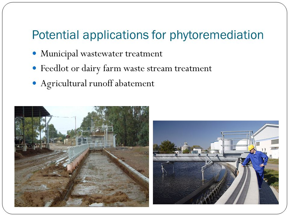 Potential applications for phytoremediation Municipal wastewater treatment Feedlot or dairy farm waste stream treatment Agricultural runoff abatement