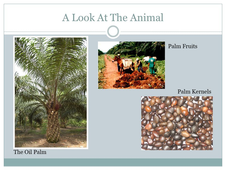 A Look At The Animal Palm Kernels Palm Fruits The Oil Palm