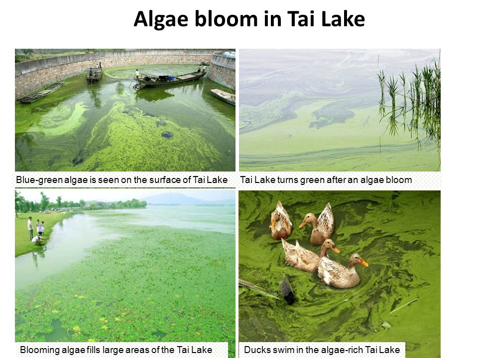 Algae bloom in Tai Lake Blue-green algae is seen on the surface of Tai Lake Blooming algae fills large areas of the Tai LakeDucks swim in the algae-rich Tai Lake Tai Lake turns green after an algae bloom