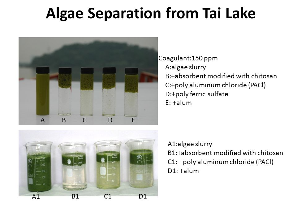 Coagulant:150 ppm A:algae slurry B:+absorbent modified with chitosan C:+poly aluminum chloride (PACl) D:+poly ferric sulfate E: +alum Algae Separation from Tai Lake ABCED A1 C1B1D1 A1:algae slurry B1:+absorbent modified with chitosan C1: +poly aluminum chloride (PACl) D1: +alum