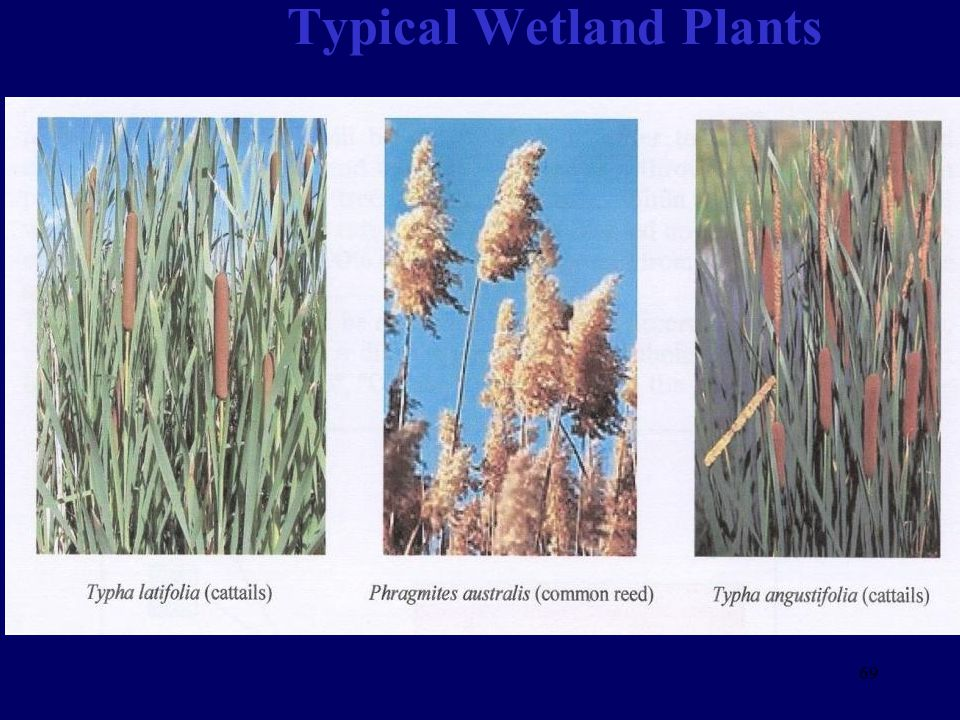 Typical Wetland Plants 69