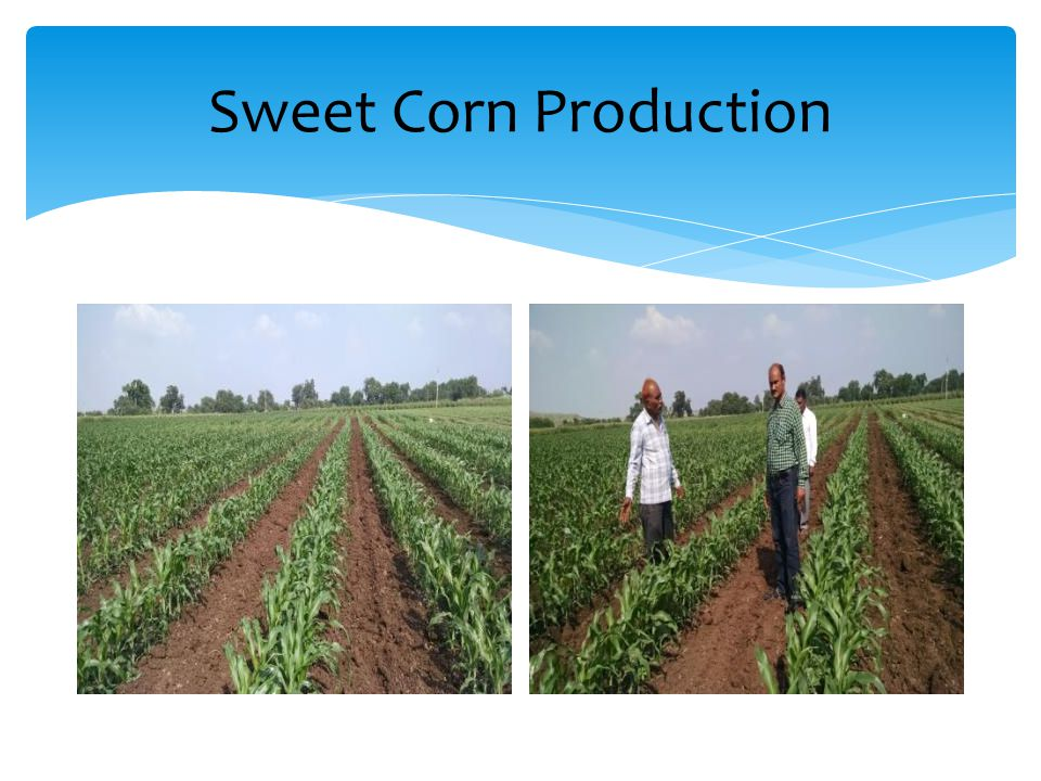 Sweet Corn Production