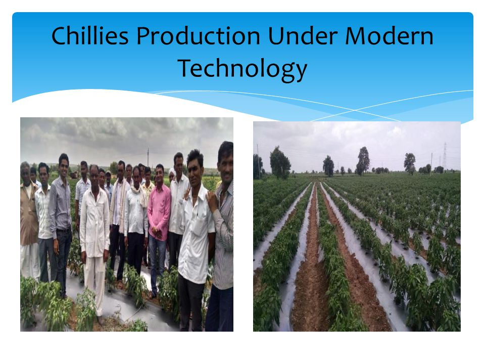Chillies Production Under Modern Technology