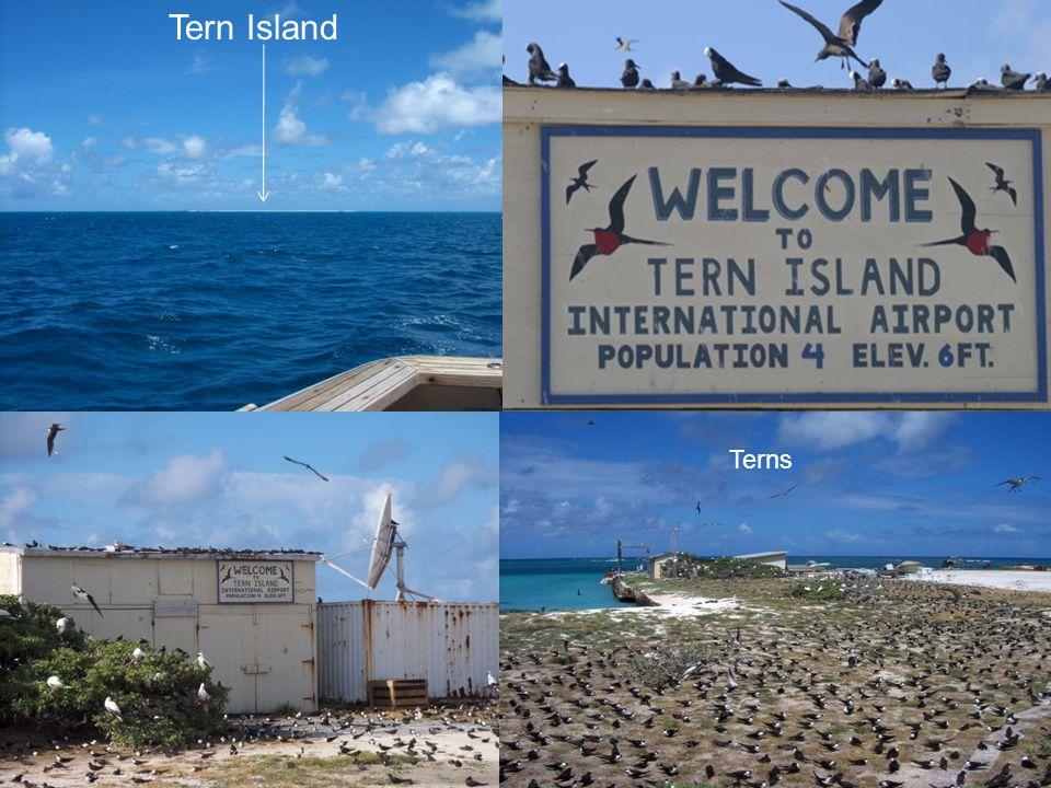 Tern Island Terns
