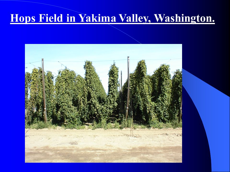 Hops Field in Yakima Valley, Washington.