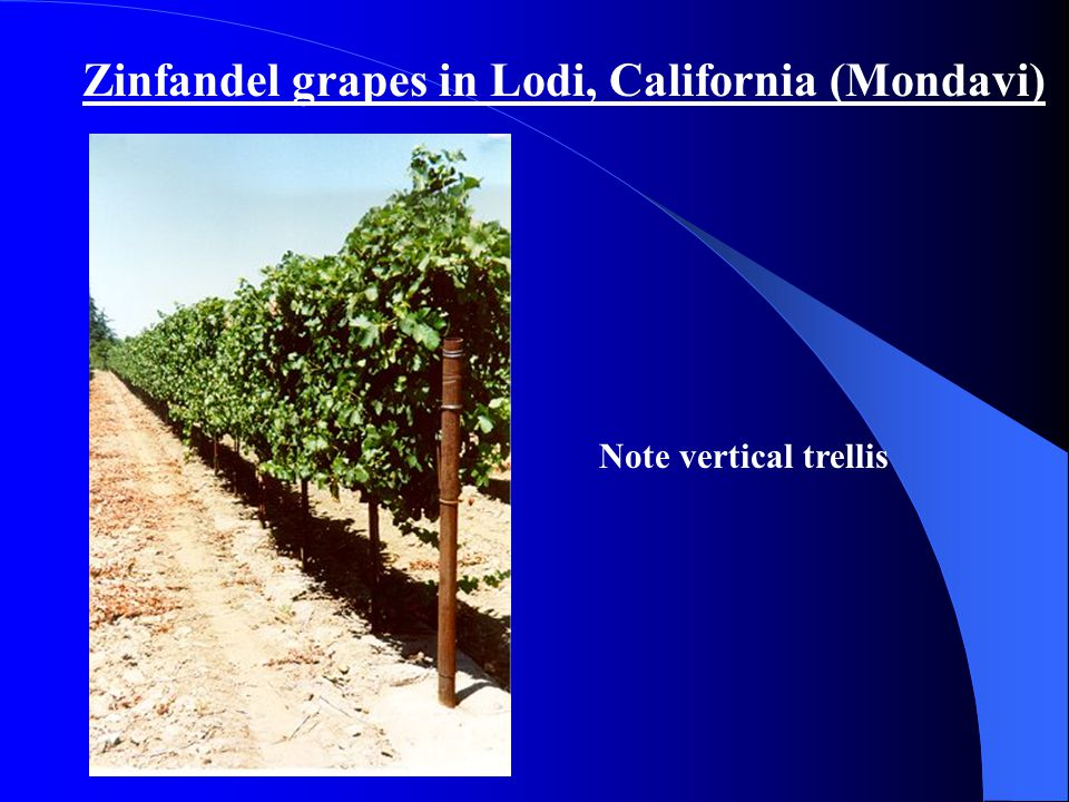Zinfandel grapes in Lodi, California (Mondavi) Note vertical trellis