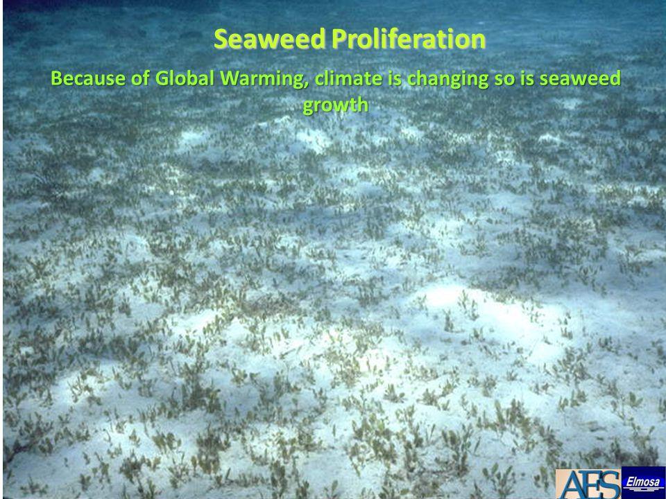 Seaweeds are taking over a once sandy floor Loose floating seaweed clog intake screens