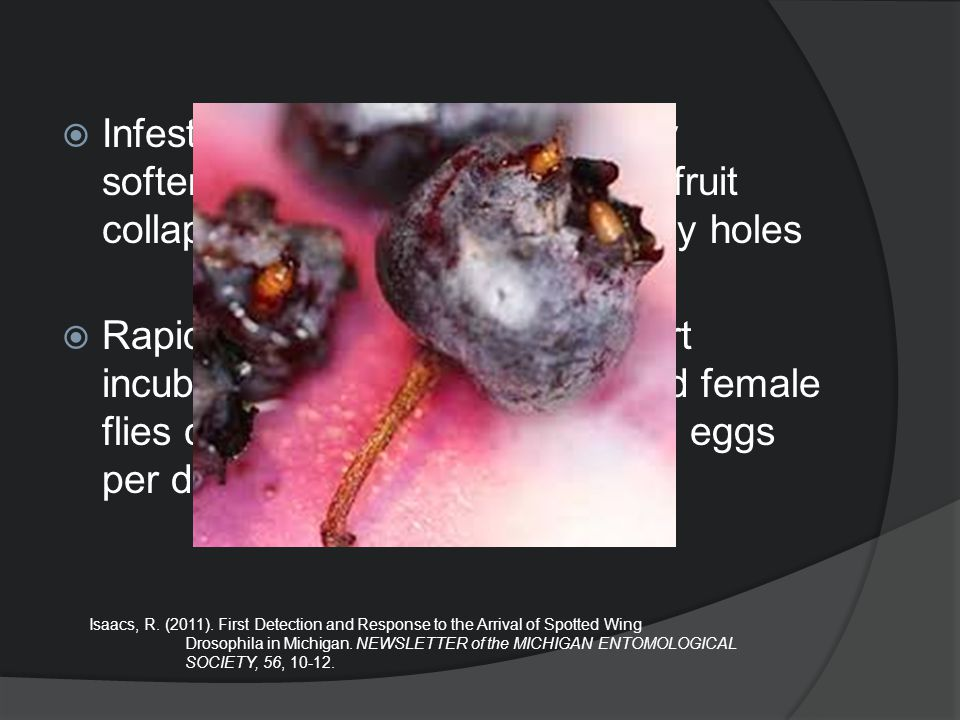  Infestations are characterized by softening in the area of feeding, fruit collapse, and the formation of tiny holes  Rapid spread attributed to a s