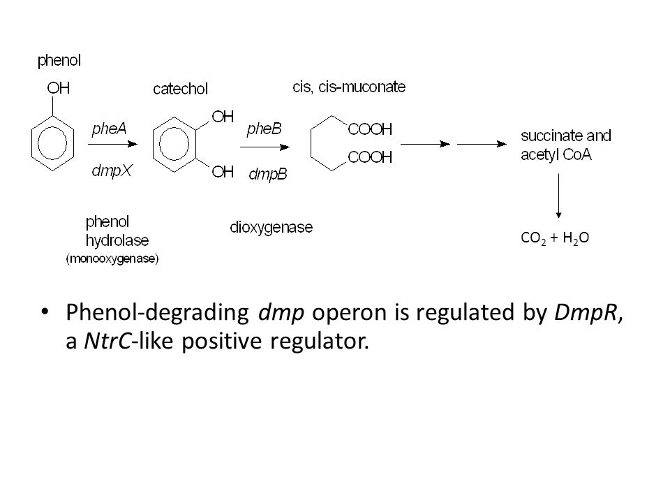 Phenol-degrading dmp operon is regulated by DmpR, a NtrC-like positive regulator. CO 2 + H 2 O