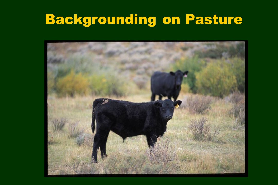 Backgrounding on Pasture
