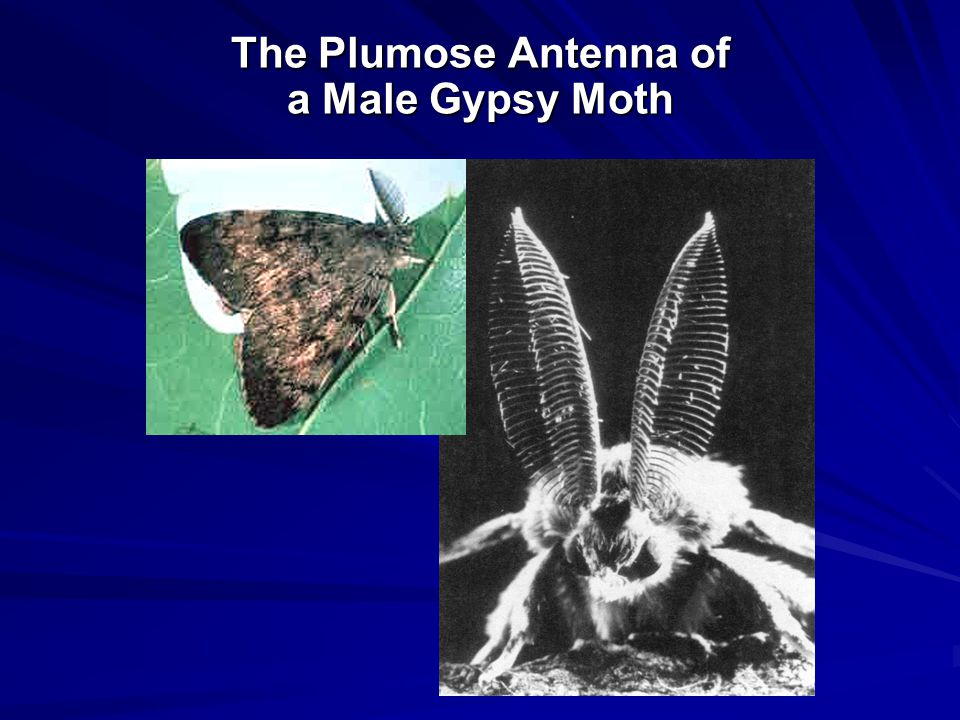 The Plumose Antenna of a Male Gypsy Moth