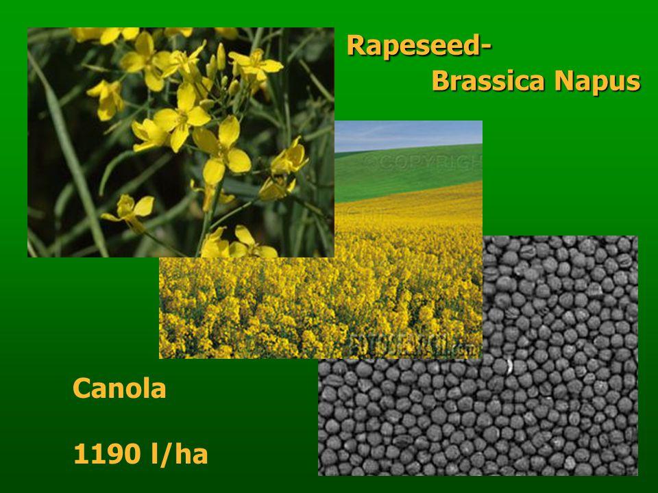 Rapeseed- Brassica Napus Rapeseed- Brassica Napus Canola 1190 l/ha