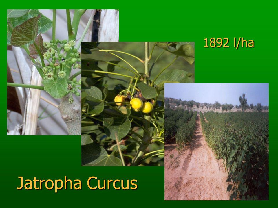 1892 l/ha Jatropha Curcus 1892 l/ha Jatropha Curcus