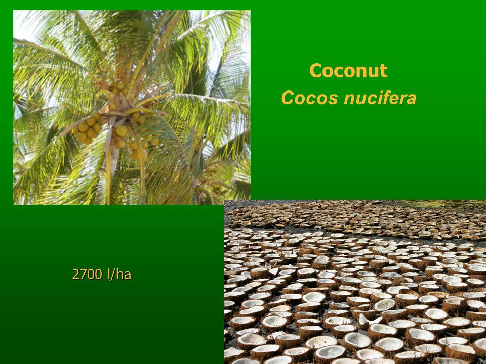 Coconut Cocos nucifera 2700 l/ha
