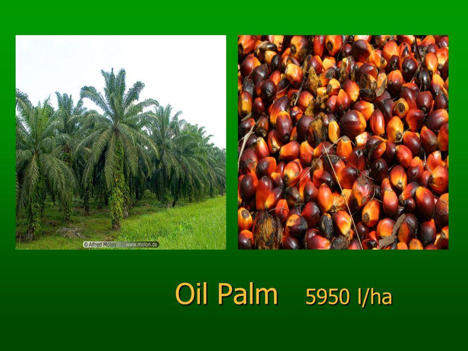 Oil Palm 5950 l/ha Oil Palm 5950 l/ha
