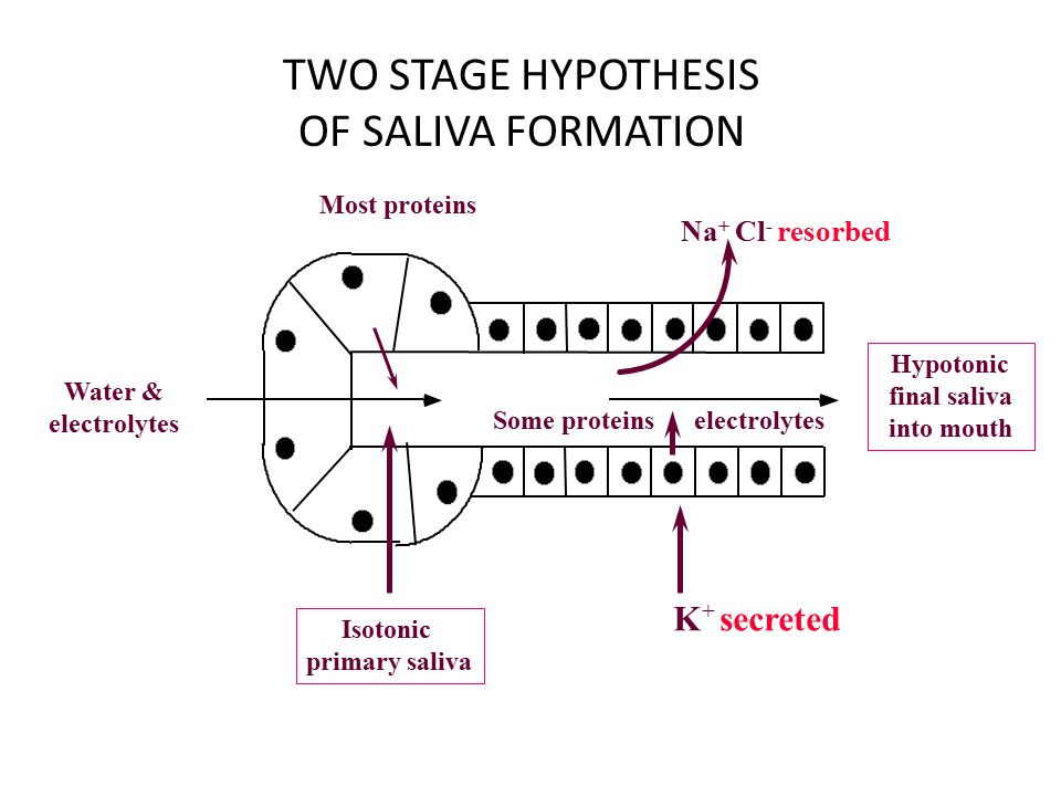 Saliva Secretion of saliva is under control of the nervous system, which controls both the volume and type of saliva secreted.
