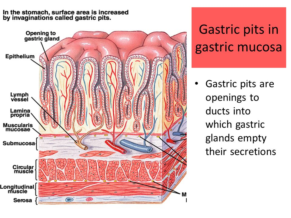 Gastric pits in gastric mucosa Gastric pits are openings to ducts into which gastric glands empty their secretions
