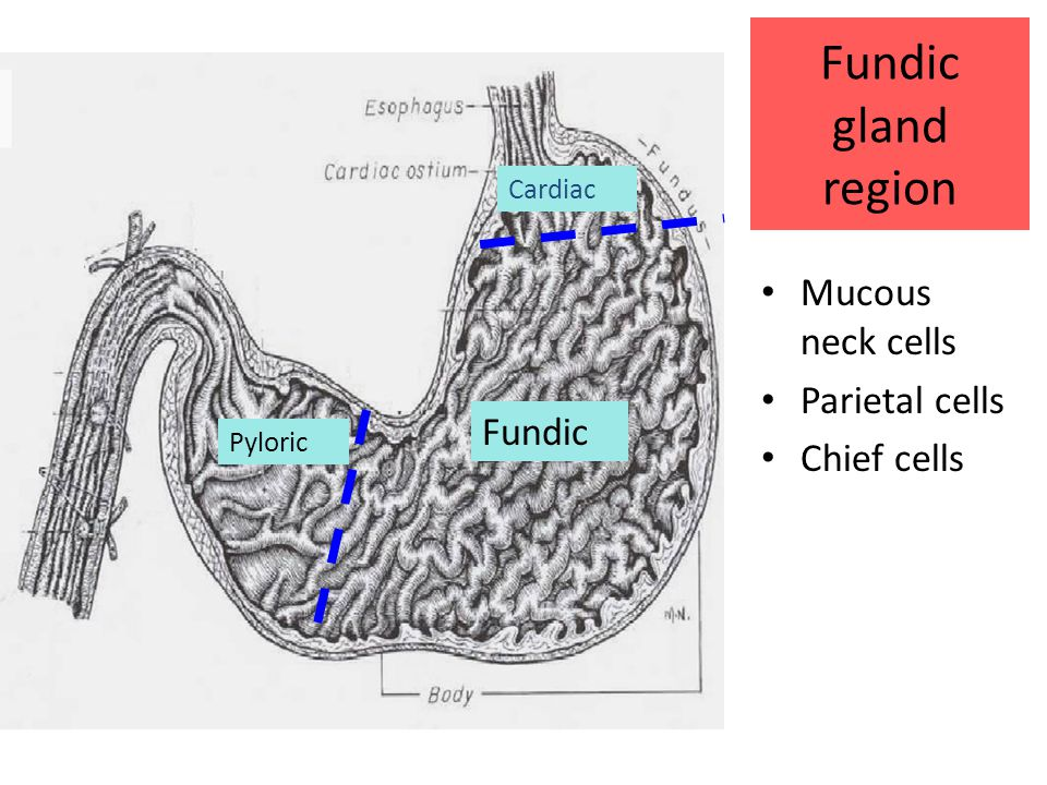Fundic gland region Mucous neck cells Parietal cells Chief cells Cardiac Fundic Pyloric