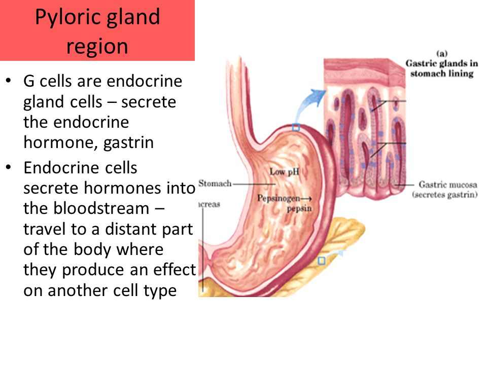 Pyloric gland region G cells are endocrine gland cells – secrete the endocrine hormone, gastrin Endocrine cells secrete hormones into the bloodstream – travel to a distant part of the body where they produce an effect on another cell type