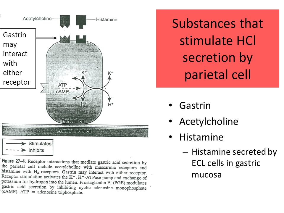 Substances that stimulate HCl secretion by parietal cell Gastrin Acetylcholine Histamine – Histamine secreted by ECL cells in gastric mucosa Gastrin may interact with either receptor