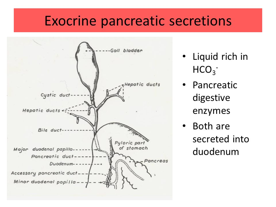 Exocrine pancreatic secretions Liquid rich in HCO 3 - Pancreatic digestive enzymes Both are secreted into duodenum