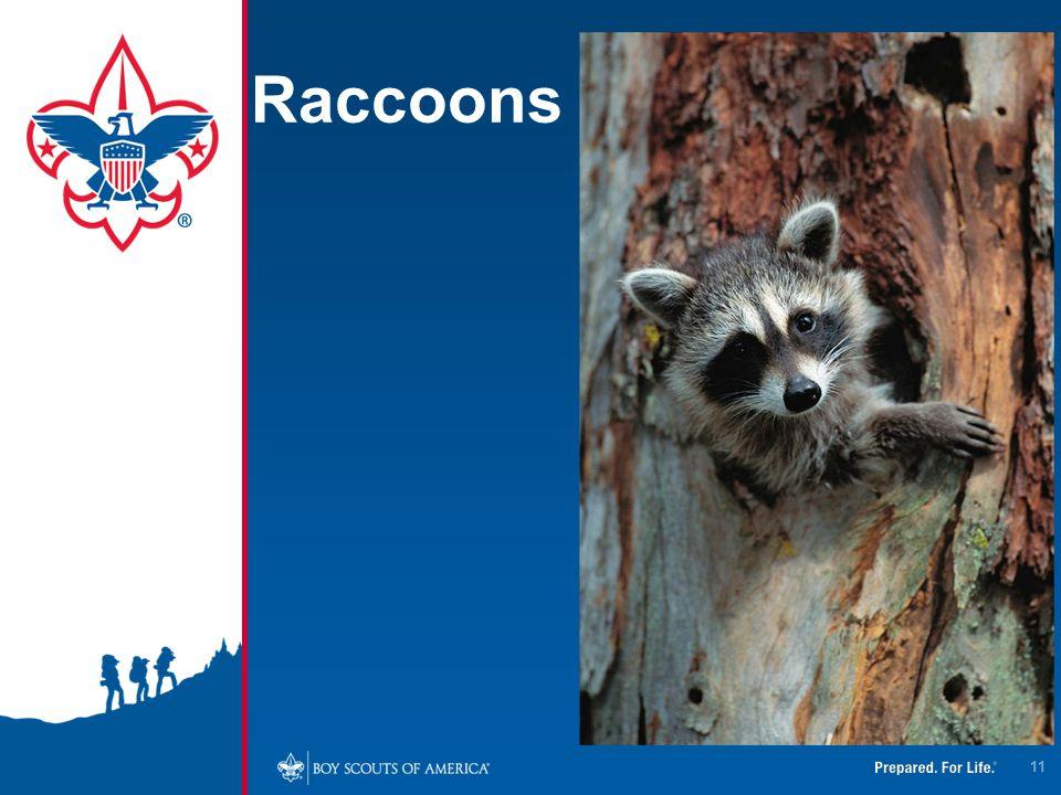 Raccoons 11