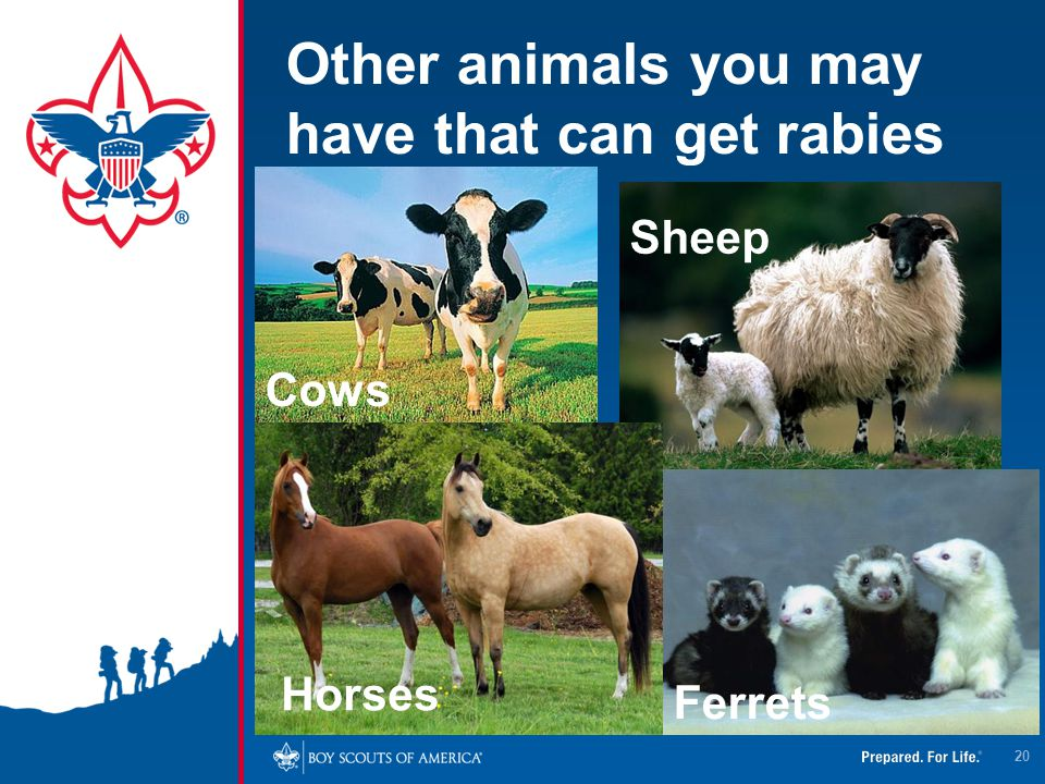 Other animals you may have that can get rabies Ferrets Horses 20 Cows Sheep
