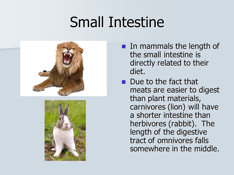 Small and Large Intestine The intestines are named for their diameter, not length.