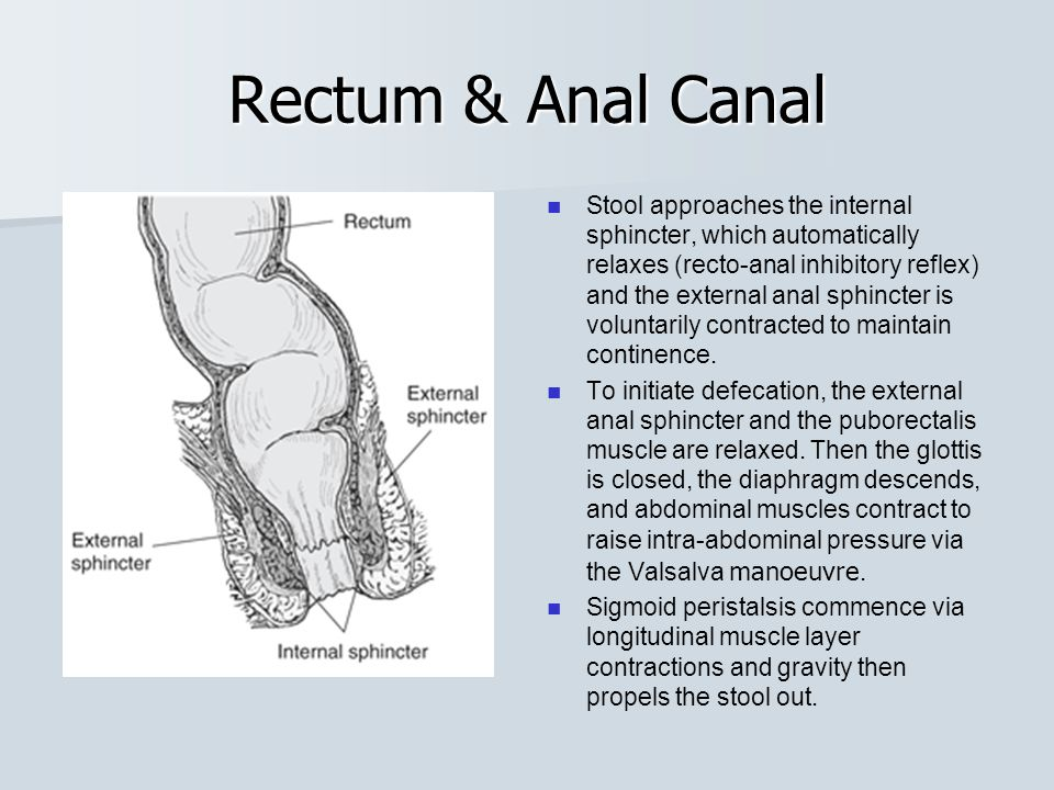 Rectum & Anal Canal The rectum is the end of the large intestine and is where feces are stored until eliminated through the anus.