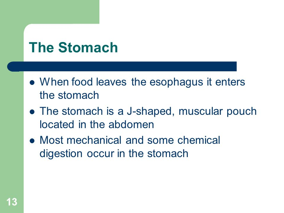 13 The Stomach When food leaves the esophagus it enters the stomach The stomach is a J-shaped, muscular pouch located in the abdomen Most mechanical a