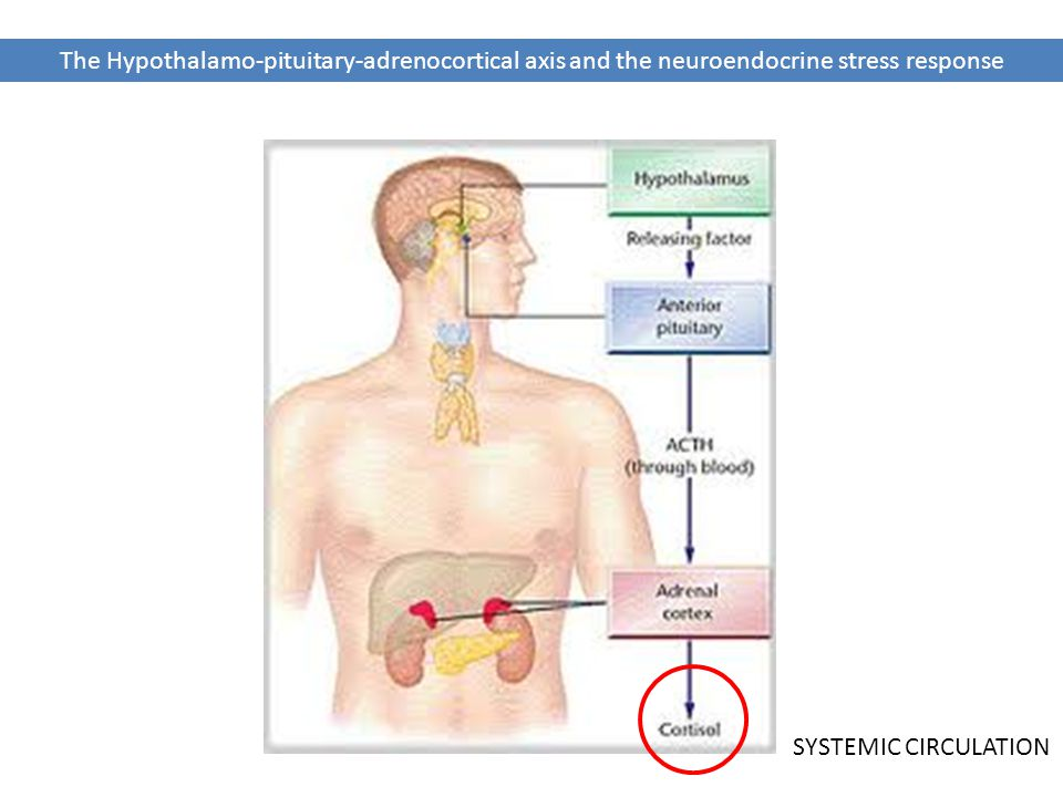 The Hypothalamo-pituitary-adrenocortical axis and the neuroendocrine stress response SYSTEMIC CIRCULATION