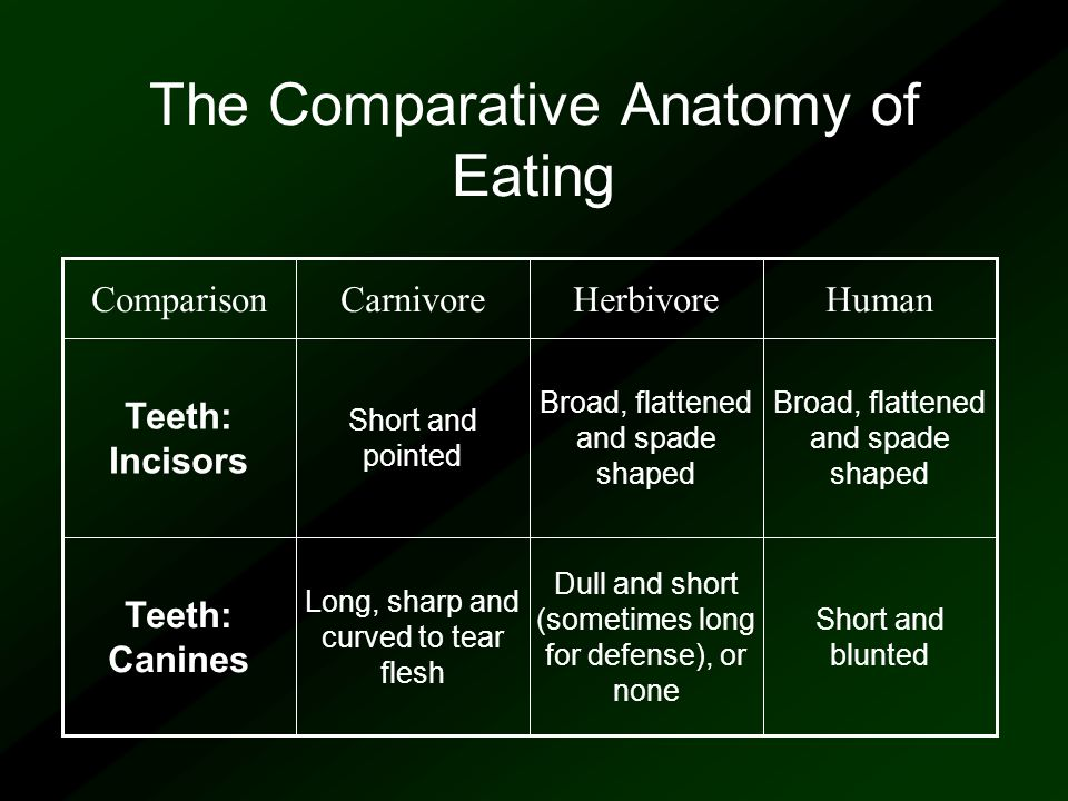 The Comparative Anatomy of Eating Broad, flattened and spade shaped Short and pointed Teeth: Incisors Short and blunted Dull and short (sometimes long for defense), or none Long, sharp and curved to tear flesh Teeth: Canines HumanHerbivoreCarnivoreComparison
