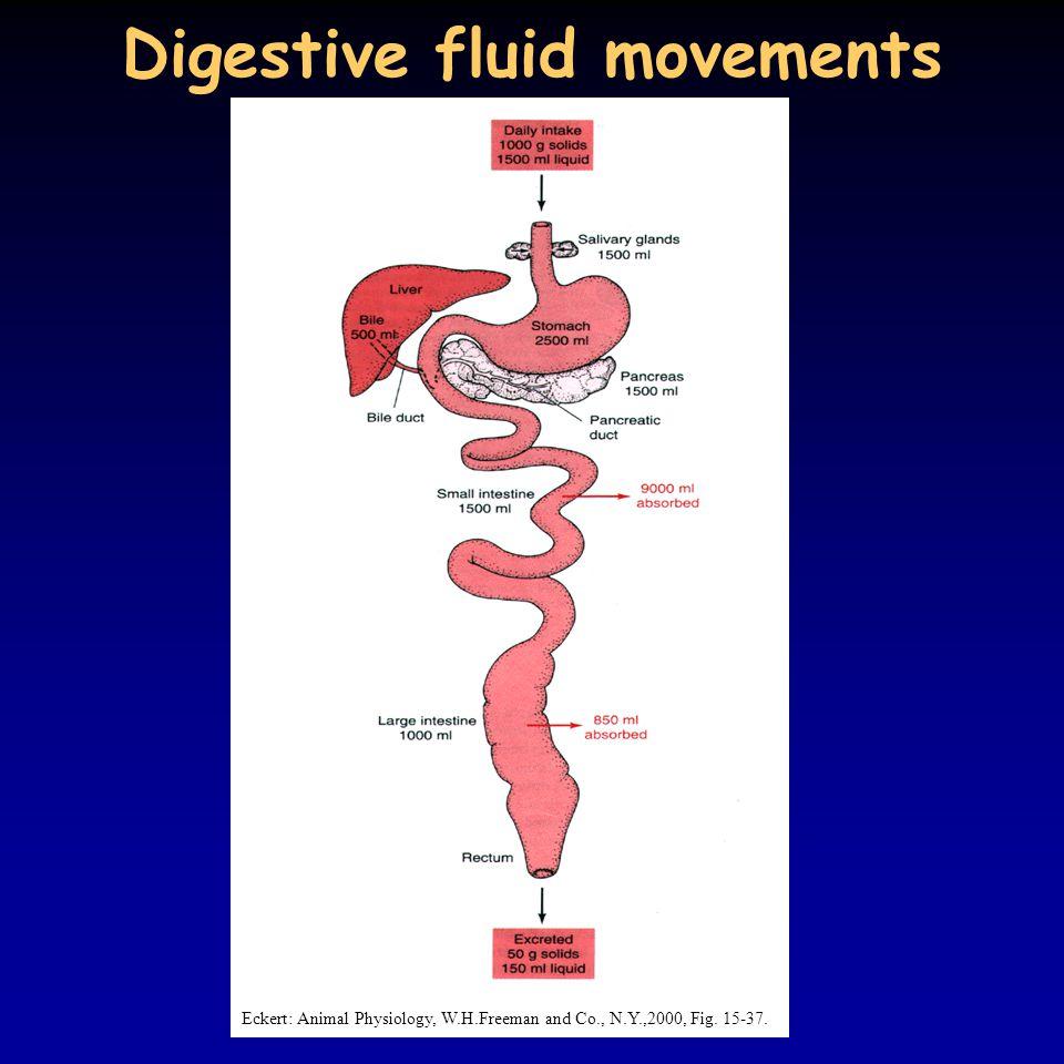 Digestive fluid movements Eckert: Animal Physiology, W.H.Freeman and Co., N.Y.,2000, Fig. 15-37.