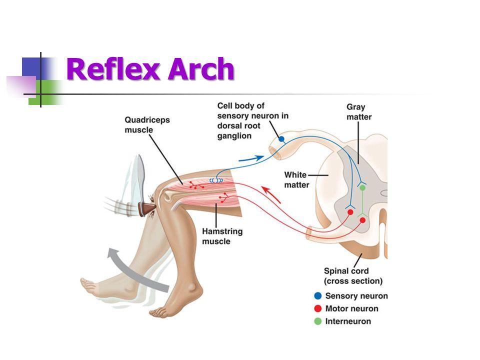 Reflex Arch
