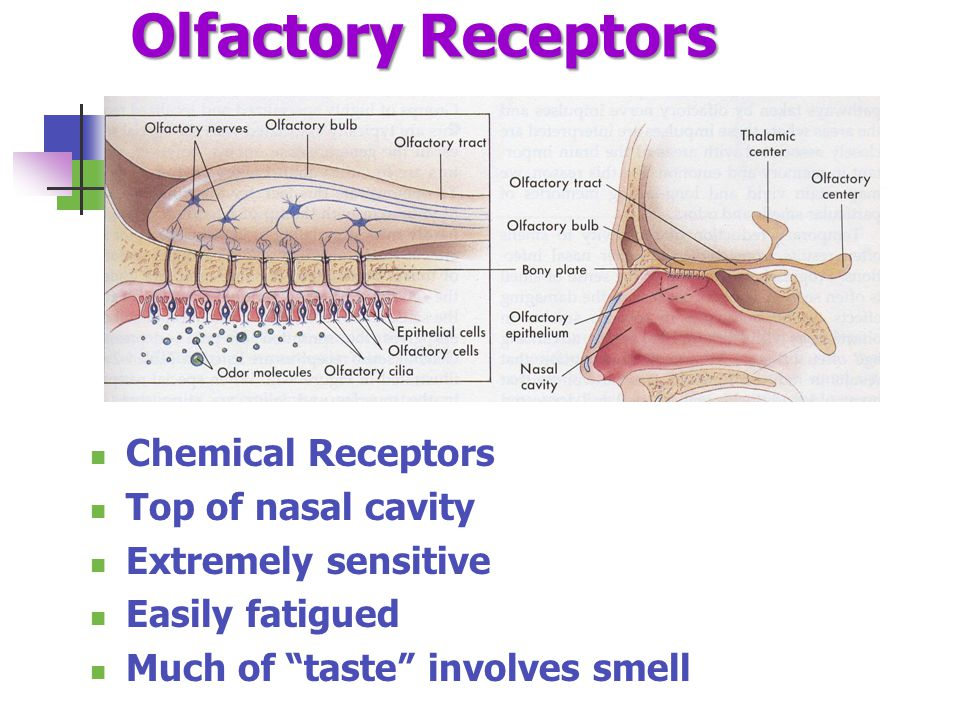 "Olfactory Receptors Chemical Receptors Top of nasal cavity Extremely sensitive Easily fatigued Much of ""taste"" involves smell"