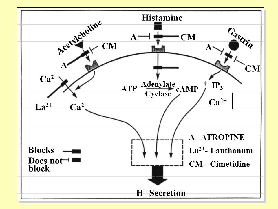 Acetylcholine Gastrin Histamine Ca 2+ La 2+ H+H+ A A CM A ATP cAMP Adenylate Cyclase Blocks Does not block Ca 2+ IP 3 A - ATROPINE Ln 2+ - Lanthanum CM - Cimetidine H + Secretion