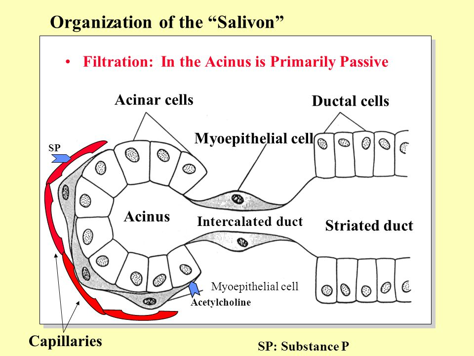 "Filtration: In the Acinus is Primarily Passive Organization of the ""Salivon"" Acinar cells Myoepithelial cell Ductal cells Acinus Myoepithelial cell In"