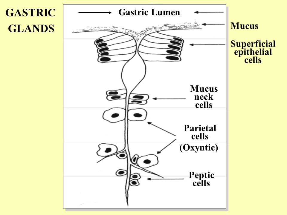 Gastric Lumen Mucus Superficial epithelial cells Mucus neck cells Parietal cells Peptic cells (Oxyntic) GASTRIC GLANDS Gastric Pits