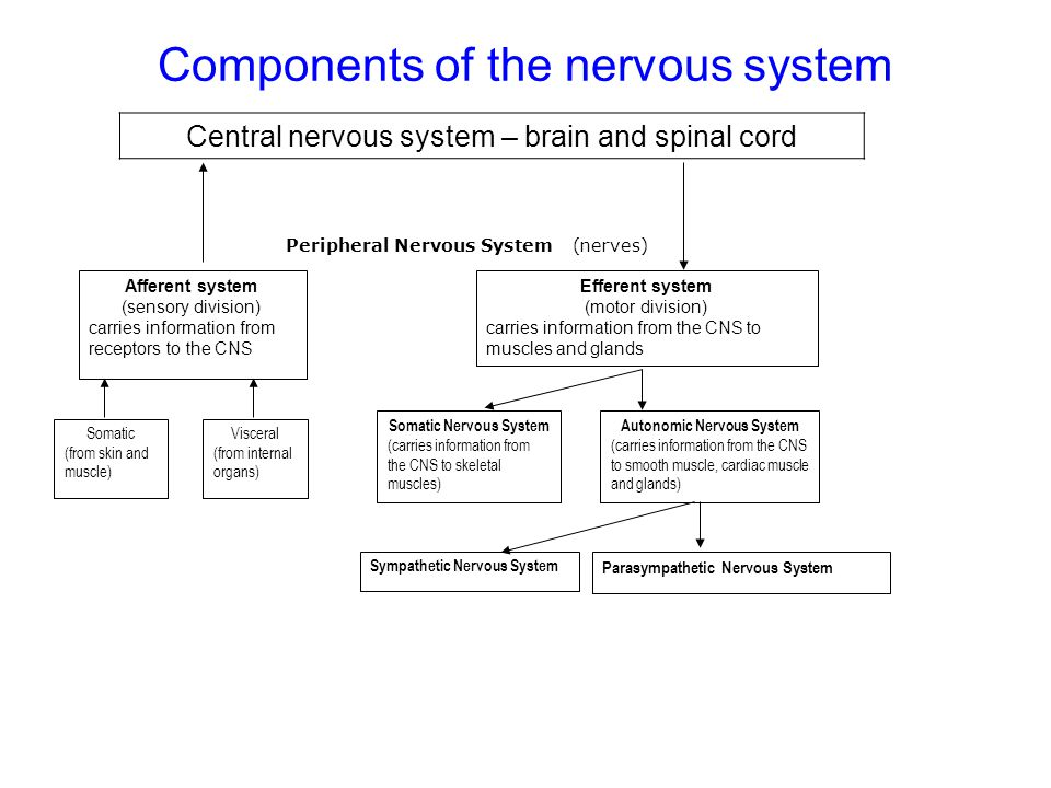 Components of the nervous system Sympathetic Nervous System Parasympathetic Nervous System Autonomic Nervous System (carries information from the CNS