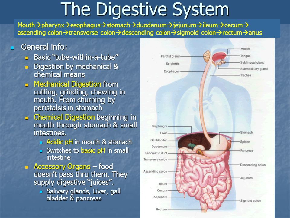 General info: General info: Basic tube-within-a-tube Basic tube-within-a-tube Digestion by mechanical & chemical means Digestion by mechanical & chemical means Mechanical Digestion from cutting, grinding, chewing in mouth.