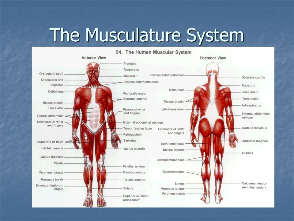 The Musculature System