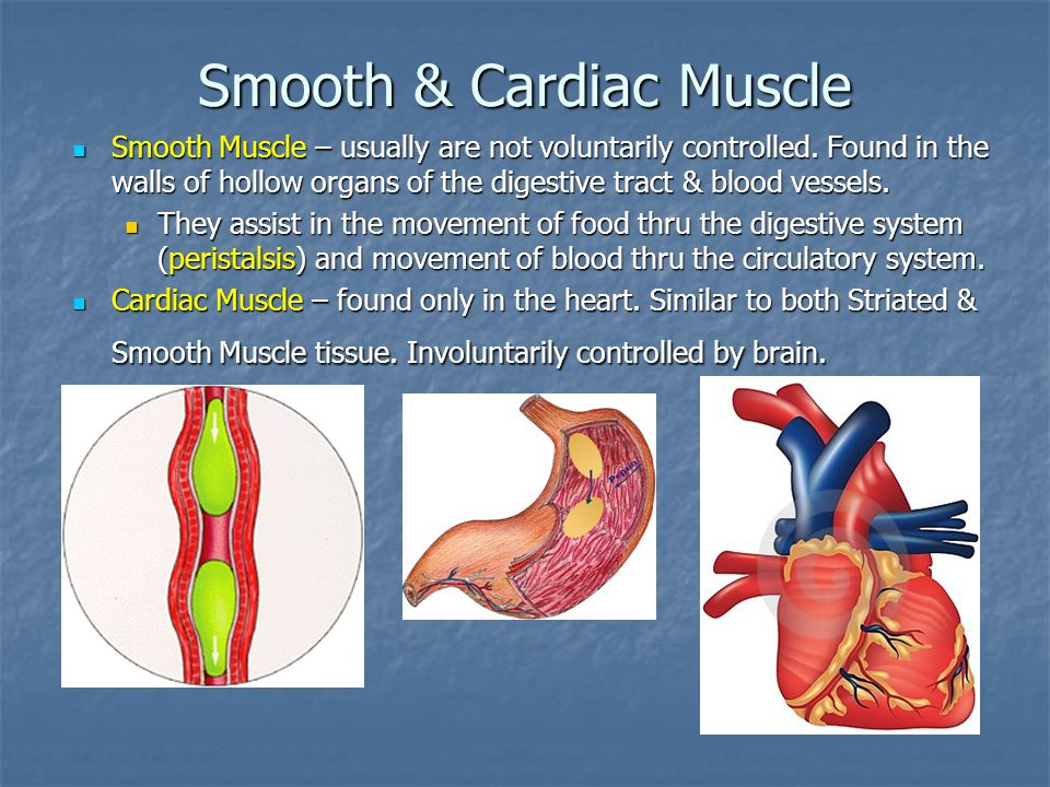Smooth & Cardiac Muscle Smooth Muscle – usually are not voluntarily controlled.
