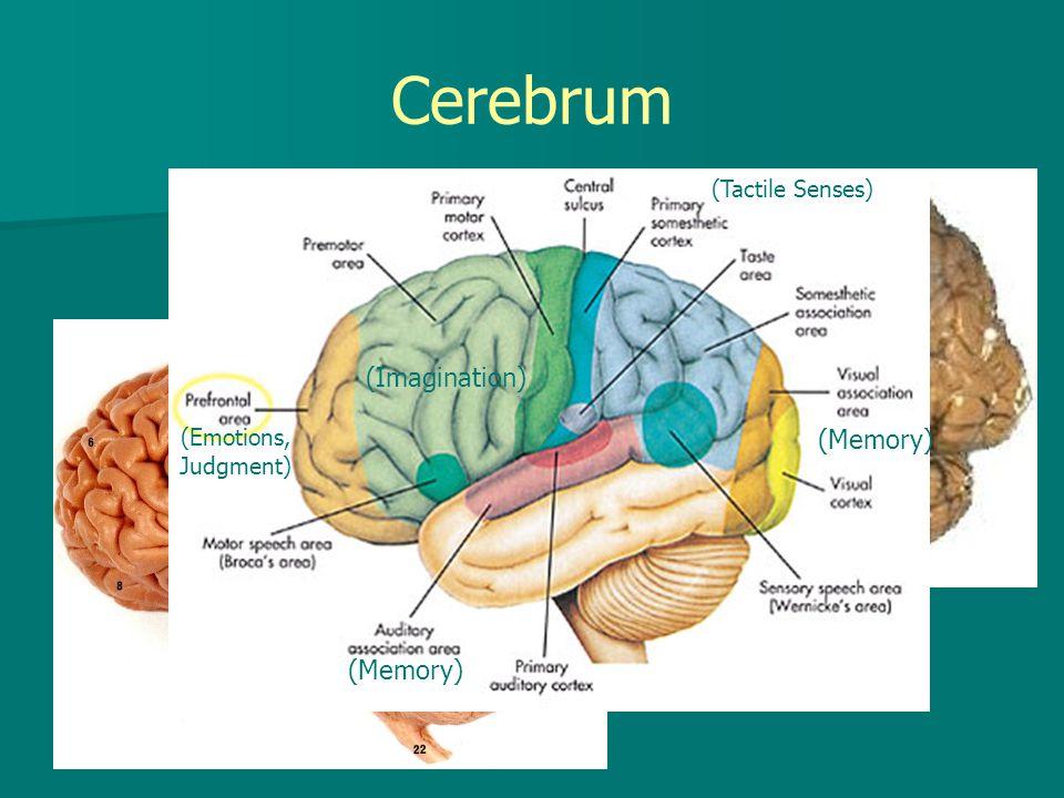 Cerebrum (Memory) (Memory) (Emotions, Judgment) (Imagination) (Tactile Senses)