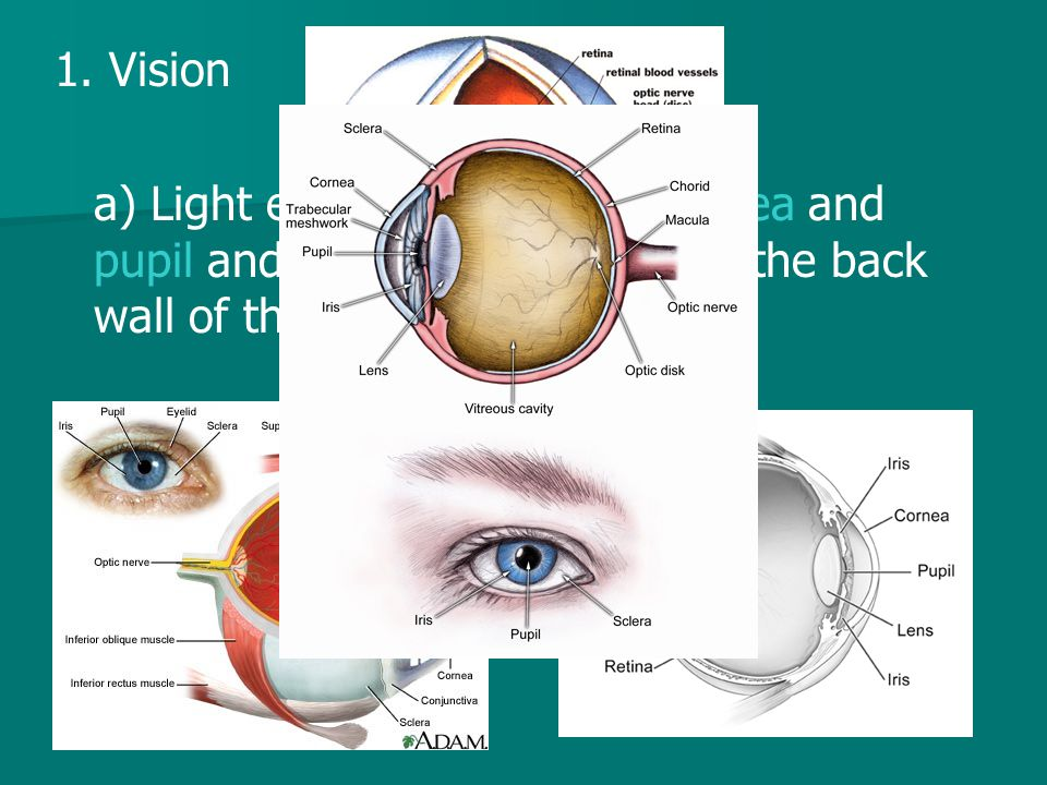 1. Vision a) Light enters eye though cornea and pupil and the lens focuses it on the back wall of the eye called the retina