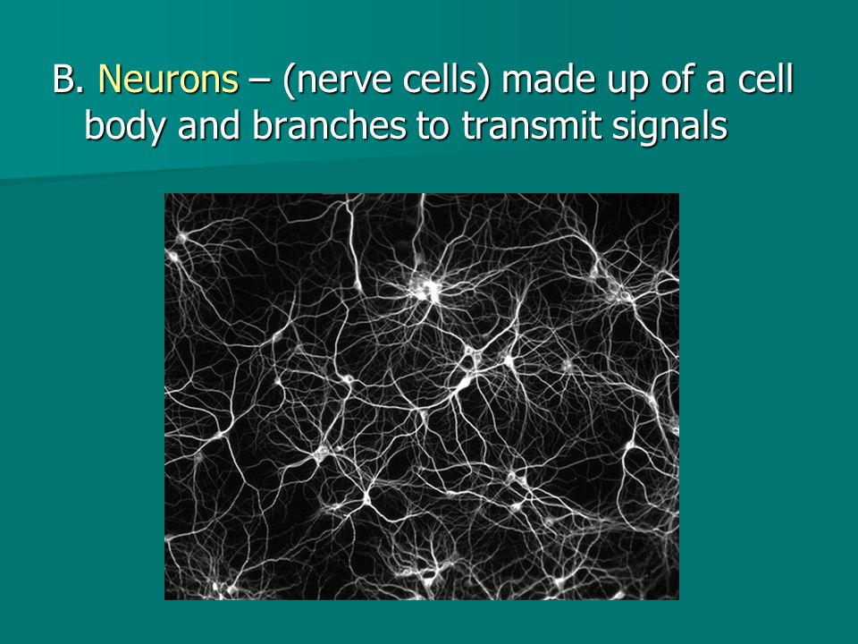B. Neurons – (nerve cells) made up of a cell body and branches to transmit signals