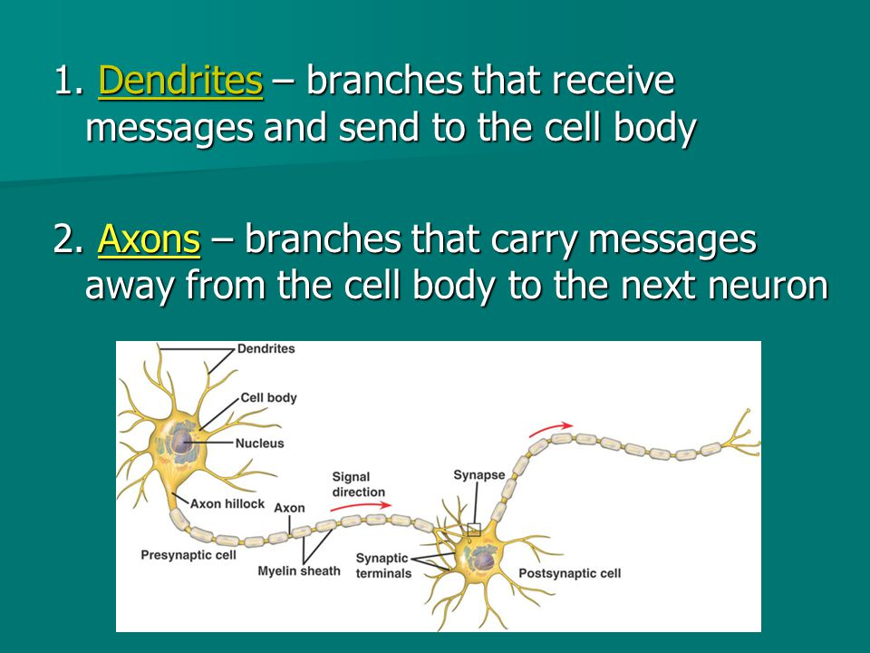 1. Dendrites – branches that receive messages and send to the cell body 2. Axons – branches that carry messages away from the cell body to the next ne