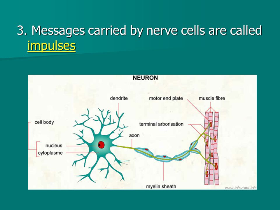 3. Messages carried by nerve cells are called impulses